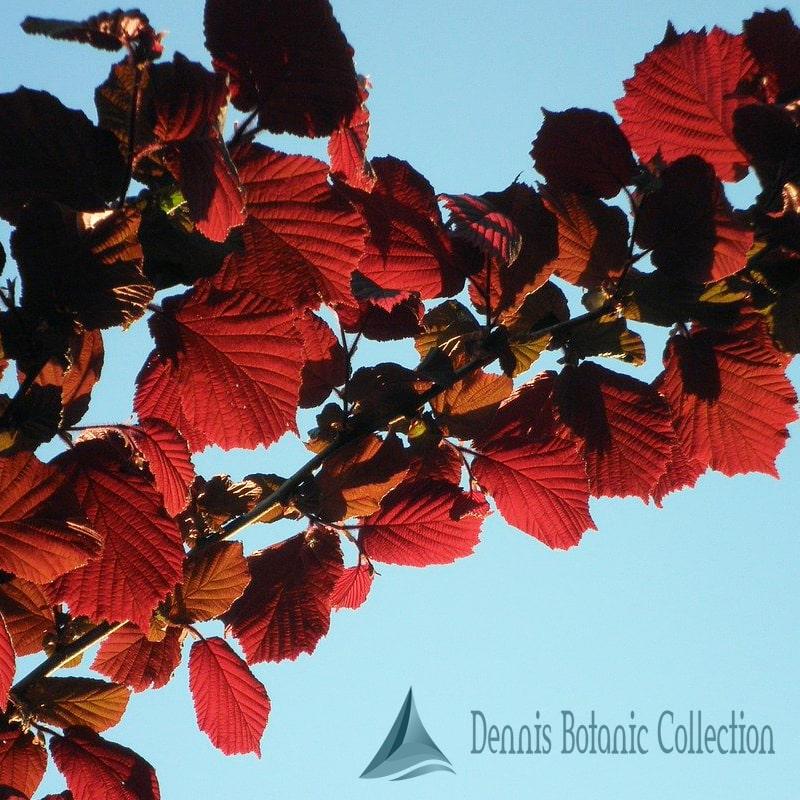Corylus Avellana Rosso Pianta di Nocciolo Rosso varietà RODE ZELLERNOOT